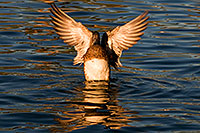 /images/133/2009-01-15-gilbert-freestone-76164.jpg - #06928: American Wigeon flapping wings at Freestone Park … January 2009 -- Freestone Park, Gilbert, Arizona