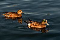 /images/133/2009-01-15-gilbert-freestone-76201.jpg - #06932: American Wigeons [male in front, female in back] at Freestone Park … January 2009 -- Freestone Park, Gilbert, Arizona