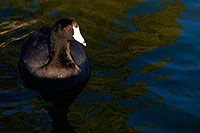 /images/133/2009-01-16-gilbert-free-coots-76535.jpg - #06971: American Coots at Freestone Park … January 2009 -- Freestone Park, Gilbert, Arizona