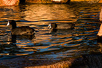 /images/133/2009-01-16-gilbert-free-coots-76608.jpg - #06941: American Coots at Freestone Park … January 2009 -- Freestone Park, Gilbert, Arizona