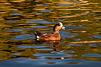 /images/133/2009-01-16-gilbert-free-ducks-76453.jpg - #06942: American Wigeon [male] at Freestone Park … January 2009 -- Freestone Park, Gilbert, Arizona