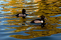 /images/133/2009-01-16-gilbert-free-ducks-76468.jpg - #06944: Ring-necked Ducks [males] at Freestone Park … January 2009 -- Freestone Park, Gilbert, Arizona