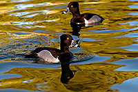 /images/133/2009-01-16-gilbert-free-ducks-76473.jpg - #06946: Ring-necked Ducks [males] at Freestone Park … January 2009 -- Freestone Park, Gilbert, Arizona