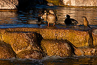/images/133/2009-01-16-gilbert-free-ducks-76498.jpg - #06947: Mallard Ducks [female, center] and Great-tailed Grackle [right] at Freestone Park … January 2009 -- Freestone Park, Gilbert, Arizona