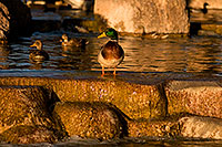 /images/133/2009-01-16-gilbert-free-ducks-76520.jpg - #06949: Mallard Ducks [male in front] at Freestone Park … January 2009 -- Freestone Park, Gilbert, Arizona