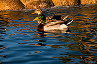 /images/133/2009-01-16-gilbert-free-ducks-76570.jpg - #06950: Mallard Duck couple [male in front] at Freestone Park … January 2009 -- Freestone Park, Gilbert, Arizona
