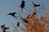 /images/133/2009-01-17-gilbert-rip-corm-76845.jpg - #06955: Cormorants at Riparian Preserve … January 2009 -- Riparian Preserve, Gilbert, Arizona