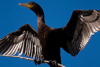 /images/133/2009-01-24-gilb-rip-corm-79347.jpg - #07042: Cormorant at Riparian Preserve … January 2009 -- Riparian Preserve, Gilbert, Arizona
