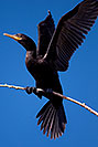 /images/133/2009-01-24-gilb-rip-corm-79351v.jpg - #07044: Cormorant at Riparian Preserve … January 2009 -- Riparian Preserve, Gilbert, Arizona