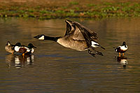 /images/133/2009-01-24-gilb-rip-geese-78875.jpg - #07004: Canadian Geese taking off at Riparian Preserve … January 2009 -- Riparian Preserve, Gilbert, Arizona