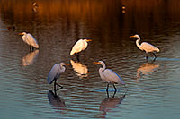 /images/133/2009-01-24-gilbert-rip-egrets-79813.jpg - #06988: Great Egrets at Riparian Preserve … January 2009 -- Riparian Preserve, Gilbert, Arizona