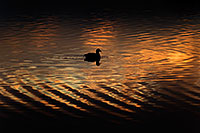 /images/133/2009-01-24-gilbert-rip-morning-78509.jpg - #06989: American Coot in the first light at Riparian Preserve … January 2009 -- Riparian Preserve, Gilbert, Arizona