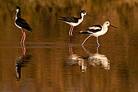 /images/133/2009-01-25-gilbert-rip-avocets-80085.jpg - 06991: Avocet [in Winter plumage] passing 2 Black Necked Stilts at Riparian Preserve … January 2009 -- Riparian Preserve, Gilbert, Arizona