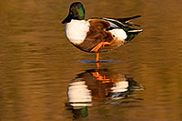 /images/133/2009-01-25-gilbert-rip-ducks-80095.jpg - #07014: Northern Shoveler (Spoon-billed Duck) at Riparian Preserve … January 2009 -- Riparian Preserve, Gilbert, Arizona