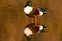 /images/133/2009-01-25-gilbert-rip-ducks-80105.jpg - #07015: Northern Shoveler (Spoon-billed Duck) at Riparian Preserve … January 2009 -- Riparian Preserve, Gilbert, Arizona