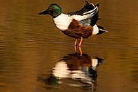 /images/133/2009-01-25-gilbert-rip-ducks-80120.jpg - #07016: Northern Shoveler (Spoon-billed Duck) at Riparian Preserve … January 2009 -- Riparian Preserve, Gilbert, Arizona