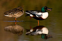 /images/133/2009-01-25-gilbert-rip-ducks-80411.jpg - #07018: Northern Shoveler (Spoon-billed Duck) couple at Riparian Preserve … January 2009 -- Riparian Preserve, Gilbert, Arizona