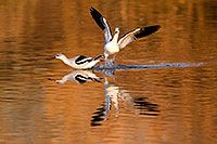 /images/133/2009-01-25-gilbert-rip-geese-79908.jpg - #07021: Avocets at Riparian Preserve … January 2009 -- Riparian Preserve, Gilbert, Arizona