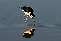 /images/133/2009-01-25-gilbert-rip-stilts-80025.jpg - #07031: Black Necked Stilt reflection at Riparian Preserve … January 2009 -- Riparian Preserve, Gilbert, Arizona