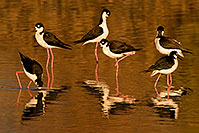 /images/133/2009-01-25-gilbert-rip-stilts-80031.jpg - #07032: 6 Black Necked Stilts reflection at Riparian Preserve … January 2009 -- Riparian Preserve, Gilbert, Arizona
