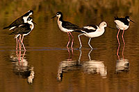 /images/133/2009-01-25-gilbert-rip-stilts-80081.jpg - #07033: Avocet among 4 Black Necked Stilts at Riparian Preserve … January 2009 -- Riparian Preserve, Gilbert, Arizona