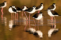 /images/133/2009-01-25-gilbert-rip-stilts-80113.jpg - #07035: Black Necked Stilts at Riparian Preserve … January 2009 -- Riparian Preserve, Gilbert, Arizona