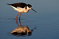 /images/133/2009-01-25-gilbert-rip-stilts-80135.jpg - #07037: Black Necked Stilt at Riparian Preserve … January 2009 -- Riparian Preserve, Gilbert, Arizona