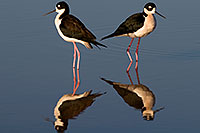 /images/133/2009-01-25-gilbert-rip-stilts-80161.jpg - #07038: 2 Black Necked Stilts at Riparian Preserve … January 2009 -- Riparian Preserve, Gilbert, Arizona