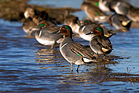 /images/133/2009-01-26-gilb-rip-ducks-81277.jpg - Birds > Green-winged Teals