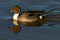 /images/133/2009-01-27-gilb-rip-ducks-81864.jpg - Birds > Northern Pintails