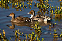 /images/133/2009-01-27-gilb-rip-ducks-81875.jpg - #07111: Northern Pintails couple at Riparian Preserve … January 2009 -- Riparian Preserve, Gilbert, Arizona