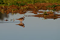 /images/133/2009-01-27-gilb-rip-killdeer-81763.jpg - #07117: Killdeer at Riparian Preserve … January 2009 -- Riparian Preserve, Gilbert, Arizona