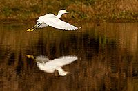 /images/133/2009-01-27-gilb-rip-snowy-81729.jpg - #07057: Snowy Egret in flight at Riparian Preserve … January 2009 -- Riparian Preserve, Gilbert, Arizona