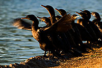 /images/133/2009-01-28-freestone-corm-82246.jpg - #07127: Cormorants at Freestone Park … January 2009 -- Freestone Park, Gilbert, Arizona