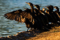 /images/133/2009-01-28-freestone-corm-82248.jpg - #07128: Cormorants at Freestone Park … January 2009 -- Freestone Park, Gilbert, Arizona
