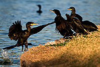 /images/133/2009-01-28-freestone-corm-82377.jpg - #07129: Cormorants at Freestone Park … January 2009 -- Freestone Park, Gilbert, Arizona