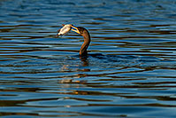 /images/133/2009-01-28-freestone-corm-82409.jpg - #07130: Cormorant fishing at Freestone Park … January 2009 -- Freestone Park, Gilbert, Arizona