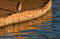 /images/133/2009-01-28-freestone-green-82182.jpg - #07136: Green Heron at Freestone Park … January 2009 -- Freestone Park, Gilbert, Arizona