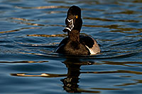 /images/133/2009-01-29-freestone-diving-83030.jpg - #07138: Ring-necked Duck at Freestone Park … January 2009 -- Freestone Park, Gilbert, Arizona