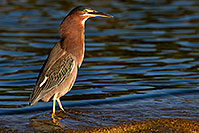 /images/133/2009-01-29-freestone-green-83274.jpg - #07142: Green Heron at Freestone Park … January 2009 -- Freestone Park, Gilbert, Arizona