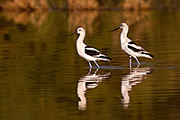 /images/133/2009-01-31-riparian-avocets-84867.jpg - #07148: Avocets at Riparian Preserve … January 2009 -- Riparian Preserve, Gilbert, Arizona