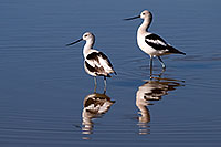 /images/133/2009-02-01-riparian-avocets-86019.jpg - #07162: Avocets at Riparian Preserve … February 2009 -- Riparian Preserve, Gilbert, Arizona