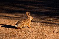 /images/133/2009-02-01-riparian-cottontail-86136.jpg - #07167: Desert Cottontail at Riparian Preserve … February 2009 -- Riparian Preserve, Gilbert, Arizona