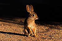 /images/133/2009-02-01-riparian-cottontail-86144.jpg - 07128: Desert Cottontail at Riparian Preserve … February 2009 -- Riparian Preserve, Gilbert, Arizona