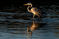 /images/133/2009-02-04-riparian-herons-88264.jpg - #07196: Great Blue Heron at Riparian Preserve … February 2009 -- Riparian Preserve, Gilbert, Arizona