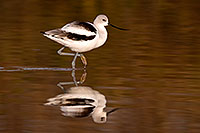 /images/133/2009-02-05-riparian-avocets-88513.jpg - #07198: Avocet at Riparian Preserve … February 2009 -- Riparian Preserve, Gilbert, Arizona