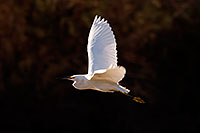 /images/133/2009-02-07-riparian-snowy-90019.jpg - #07223: Snowy Egret in flight at Riparian Preserve … February 2009 -- Riparian Preserve, Gilbert, Arizona