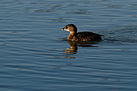 /images/133/2009-02-12-riparian-grebes-93341.jpg - #07268: Pied-billed Grebe at Riparian Preserve … February 2009 -- Riparian Preserve, Gilbert, Arizona