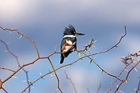 /images/133/2009-02-14-riparian-kingfisher-95178.jpg - #07298: Belted Kingfisher [female] at Riparian Preserve … February 2009 -- Riparian Preserve, Gilbert, Arizona