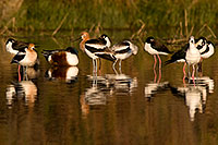 /images/133/2009-02-19-riparian-avocets-97935.jpg - #07323: Avocets in breeding plumage at Riparian Preserve … February 2009 -- Riparian Preserve, Gilbert, Arizona